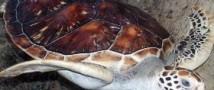 Около 145 тысяч морских черепах появились в Тихом океане