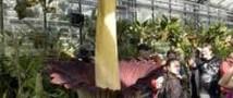 В Штатах расцвел «трупный» цветок