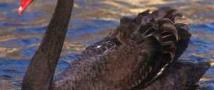 В зоопарке посетители насмерть забили черного лебедя