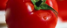 Селекция помидоров сделала их привлекательными, но невкусными