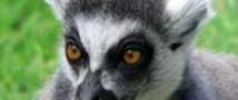 Лемуры могут скоро исчезнуть с лица планеты