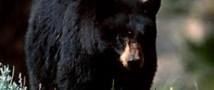 В Штатах пойман медведь-блогер