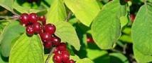 В Адыгее двенадцать подростов отравились компотом, сваренным из волчьих ягод