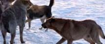 На востоке столицы бездомными собаками насмерть загрызен мужчина