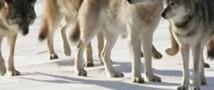 В связи с нашествием волков в Якутии вводят режим чрезвычайной ситуации