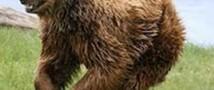 В Швейцарии убили медведя, который был последним в этой стране