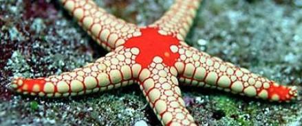 Морские звезды поспособствуют лечению ишемического инсульта