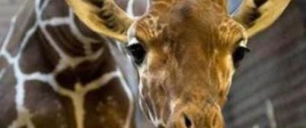 В зоопарках Дании продолжатся отстрел жирафов