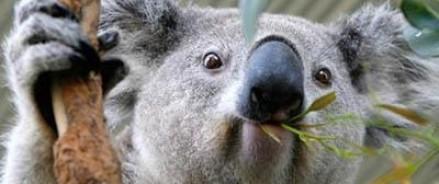 Сбежавший из вольера коала уснул на полпути к свободе