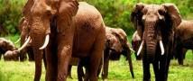 Слоны способны распознавать пол человека по его голосу