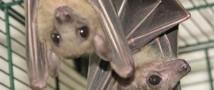 Ученым удалось установить, как летучим мышам удается не сталкиваться во время охоты