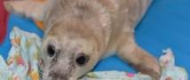 В Приморье спасли тюлененка, который пытался взобраться на льдину