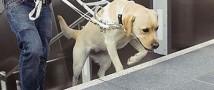 В Екатеринбурге лабрадоры стали собаками-поводырями для незрячих жителей города