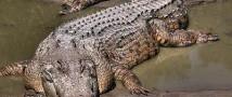 Нильские крокодилы перешли на вегетарианскую диету