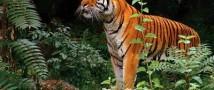 Владимир Путин выпустил трех амурских тигров в дикую природу