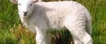 Плацента животных поможет ликвидировать покраснения