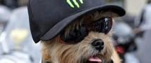 Чуть более недели тому назад знаменитый своими роликами на канале YouTube пес-байкер лишился средства передвижения