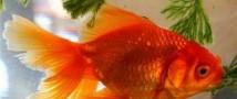 Поклонника экстремальных игр оштрафовали за попытку поедания золотых рыбок