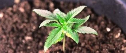 Немецким судом было выдано официальное разрешение на выращивание марихуаны дома