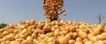 Белоруссия запретила ввозить украинскую картошку