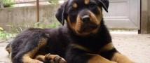 В Смоленской области женщина украла у своего должника щенка ротвейлера