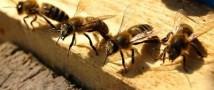 Конопляную плантацию охраняли агрессивные боевые пчелы