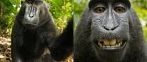 Борьба за авторские права на автопортреты обезьяны продолжается