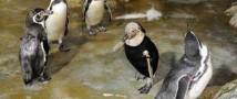 Пингвины катастрофически быстро лысеют