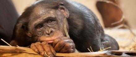 Высшие приматы готовы пожертвовать временной выгодой