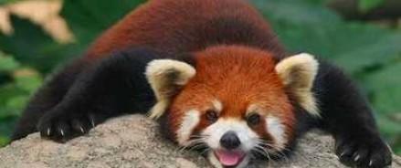 Красная панда скоро обоснуется в зоопарке Москвы