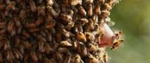 Пчелы убили американского садовника