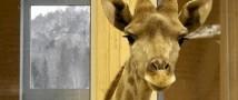 В Красноярске новорожденный жираф отчаянно борется за свою жизнь