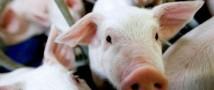 В Россию начали завозить свинину из Китая