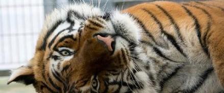 Амурский Тигр Устин последовал примеру президентского любимца Кузи и сбежал в Китай