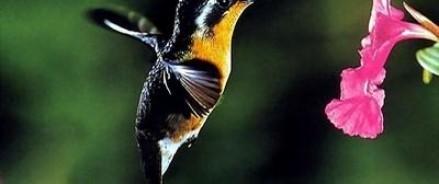Колибри использует свой клюв в качестве оружия
