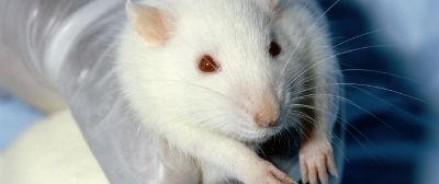 Ученые создали прозрачную мышь