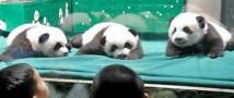 В Китае обнародовали имена единственных в мире выживших панд-тройняшек