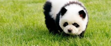 Мошенники из Италии дурачили людей, предлагая сфотографироваться с раскрашенными в панд собаками породы чау — чау