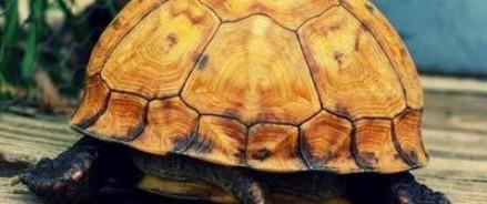 Одна из редчайших пород черепах находится на грани вымирания