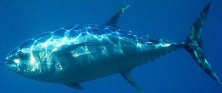 Цена голубого тунца на токийском рынке Цукидзи снизилась до $37 000 за рыбу