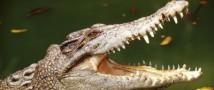 Американские полицейские подозревают аллигатора в убийстве кошек
