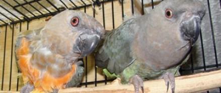 Украинских попугаев не пустили на российскую территорию