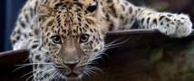 Полиция проводит проверку по факту обнаружения на территории столицы РФ двух леопардов