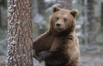 Томские активисты хотят спасти медведя, откусившего руку девушке