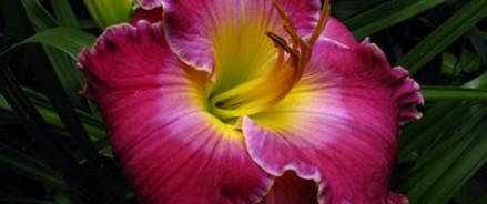 С 24 по 26 июля в «Аптекарском огороде» пройдёт первая выставка лилейников