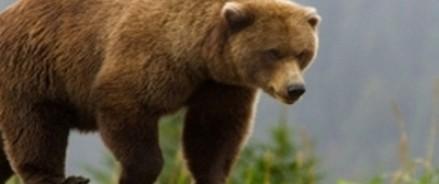 Медведи на российских трассах