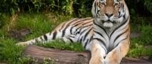 Тигр Амур и козел Тимур вскоре станут героями мультипликационного фильма