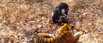 Желающие увидеть Тимура и Амура обвалили сайт сафари-парка