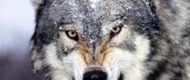 Сельчанин задушил волка, напавшего на два сельских подворья