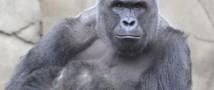Десять минут с гориллой провел трехлетний малыш (видео)